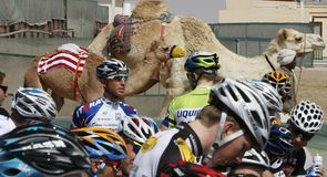The camels look on as the riders prepare