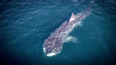 Sky Ocean Rescue - Basking Shark
