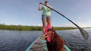 Too chicken for paddle boarding?